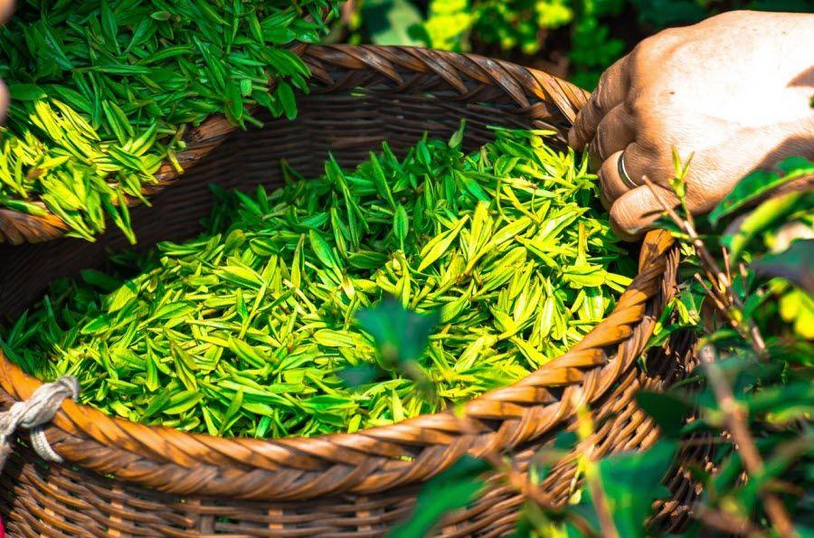 hojas de te en una canasta