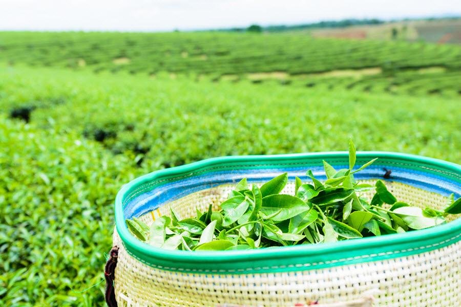 свежие чайные листья в одном из мешков, в которые собирают урожай чайной плантации