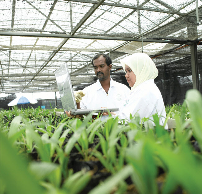 Ramets, or clonal plants at our pre-nursery facility in Banting, Malaysia