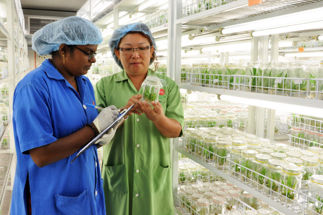 Selecting High Quality Oil Palm Tissue Culture